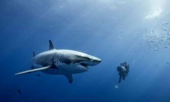 Тунець і велика біла акула мають один ген суперхіщніка