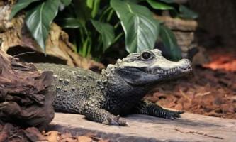 Тупорилі крокодили - сучасники динозаврів