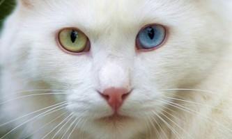 Турецька ангора, або ангорська кішка