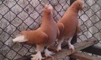 Турецькі голуби такла і особливості прекрасного виду