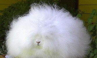 """Турецький"" кролик"