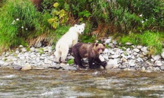 Туристам на камчатці зустрівся бурий ведмідь-альбінос