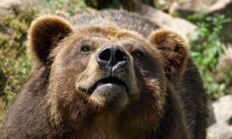 Туристка з франції піддалася нападу камчатської ведмедиці