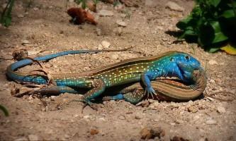 Туристка випадково зняла пристрасний поцілунок райдужних ящірок