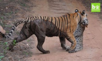 Туристи зняли на відео смертельну сутичку тигриці і леопарда