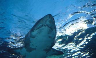 У акул виявлені ознаки особистості