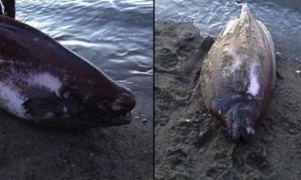 Біля берегів аляски виловили рідкісну рибу-ганчірку
