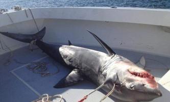 Біля берегів сша акула сама стрибнула в човен до рибалок