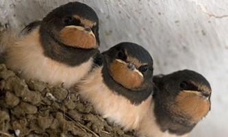 У чорнобильських птахів виявлена любов до чорного