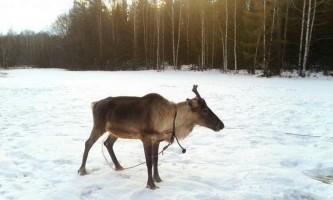 У діда морозу прямо з резиденції вкрали оленя