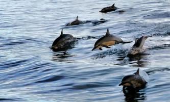 У дельфінів і кажанів виявлений загальний ехолокаційному білок