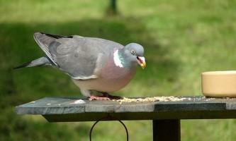 У голубів виявили ірраціональна поведінка