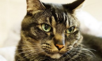 У кішки течуть слюні: норма або відхилення?