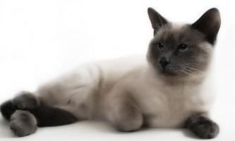 У кота в калі кров: причини і лікування