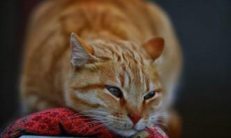 У кота в сечі кров: причини, лікування