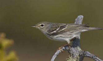 У крихітній перелітної пташки виявлені задатки марафонця