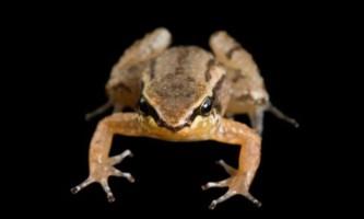 У жаб виявили сьомий спосіб запліднення
