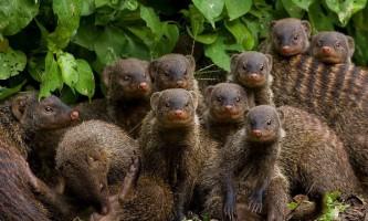 У мангустів знайшли складову мова