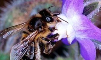 У медоносних бджіл пам`ять краще вранці