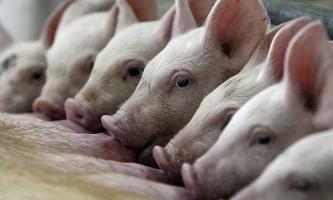 «У неї розуму палата» - розведення свиней