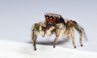 У павуків-скакунчіков виявлені унікальні візуальні здібності