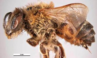 У бджіл відкритий запасний механізм престолонаслідування