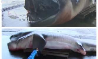 Біля узбережжя японії спіймали рідкісну акула великорота