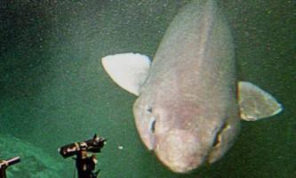 Біля узбережжя шотландії виявили рідкісну акулу