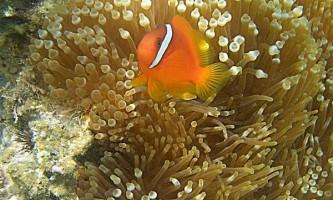 У риб-клоунів досить незвичайна особисте життя