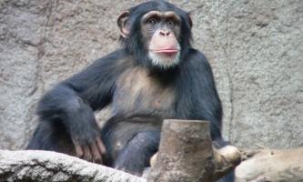 У шимпанзе є моральні принципи