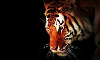 У тигра смуги не тільки на хутрі