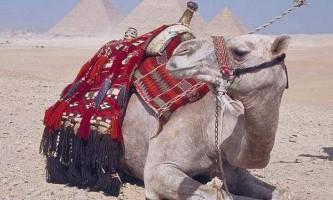 У верблюда в горбах вода: чи так це?