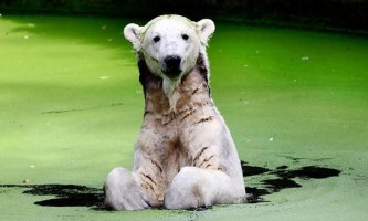 У знаменитого білого ведмедя в германии на прізвисько батіг з`явилася подруга з італії