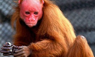 Уакарі - зникаючі мавпи. Фото уакарі