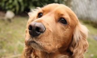 Вчені довели, що собаки розуміють людську мову
