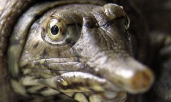 Вчені: китайські черепахи загрожують екології сша