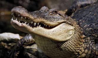 Вчені: крокодили спілкуються один з одним співом