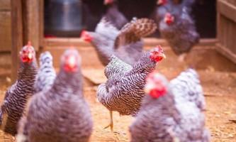 Вчені: кури еволюціонували швидше, ніж вважалося раніше