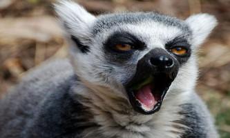 Вчені: лемури позіхають через хвилювання