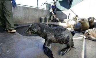 Вчені: на узбережжі каліфорнії зафіксовано небувале кількість смертей морських котиків