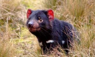 Вчені почали вакцинацію тасманійських дияволів, здатну запобігти вимирання виду
