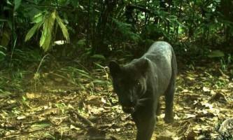 Вчені знайшли спосіб ідентифікувати чорних леопардів