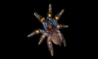 Вчені не змогли пояснити синій колір павуків-птахоїдів