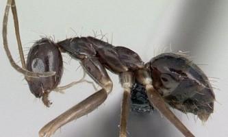 Вчені пояснили поведінку божевільних мурах