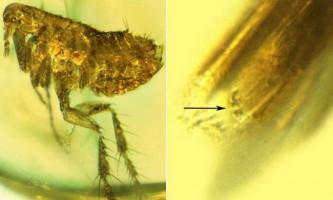 Вчені виявили бактерію-збудника бубонної чуми в скам`янілостях блохи