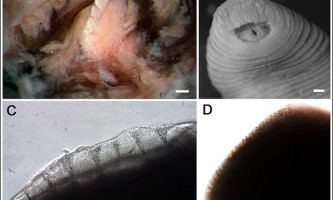 Вчені виявили новий вид п`явок (tyrannobdella rex)