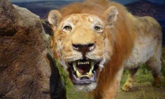 Вчені виявили останки печерних левів, що мешкали понад 10-20 тисяч років тому