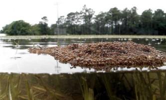 Вчені виявили спеціалізацію у мурах-бокорашів