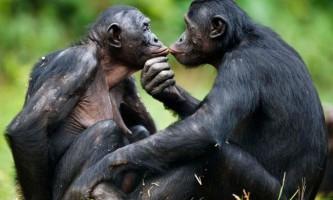 Вчені: спілкування мавп бонобо між собою - перехідна ланка до людської мови