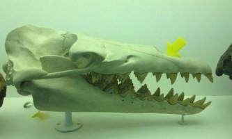 Вчені оцінили силу укусу стародавнього китоподібного basilosaurus isis